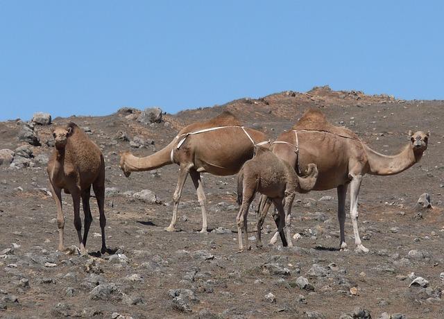 camel-210833_640